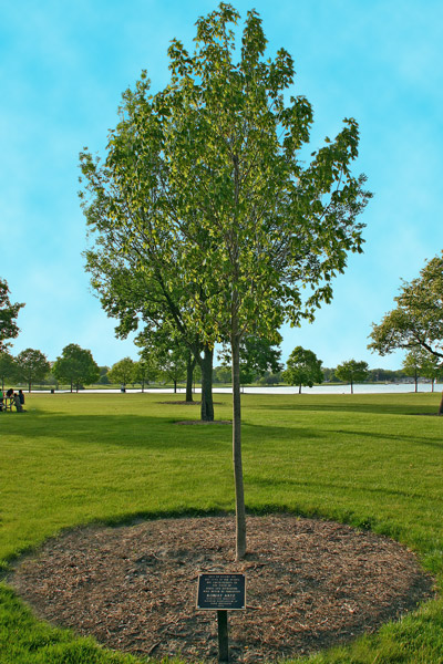 Memorial Tree and plaque for Robert Artz, in Lake Park, Des Plaines, IL. Memorial Trees and Benches Program.